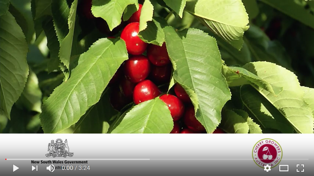 Cherries to China video