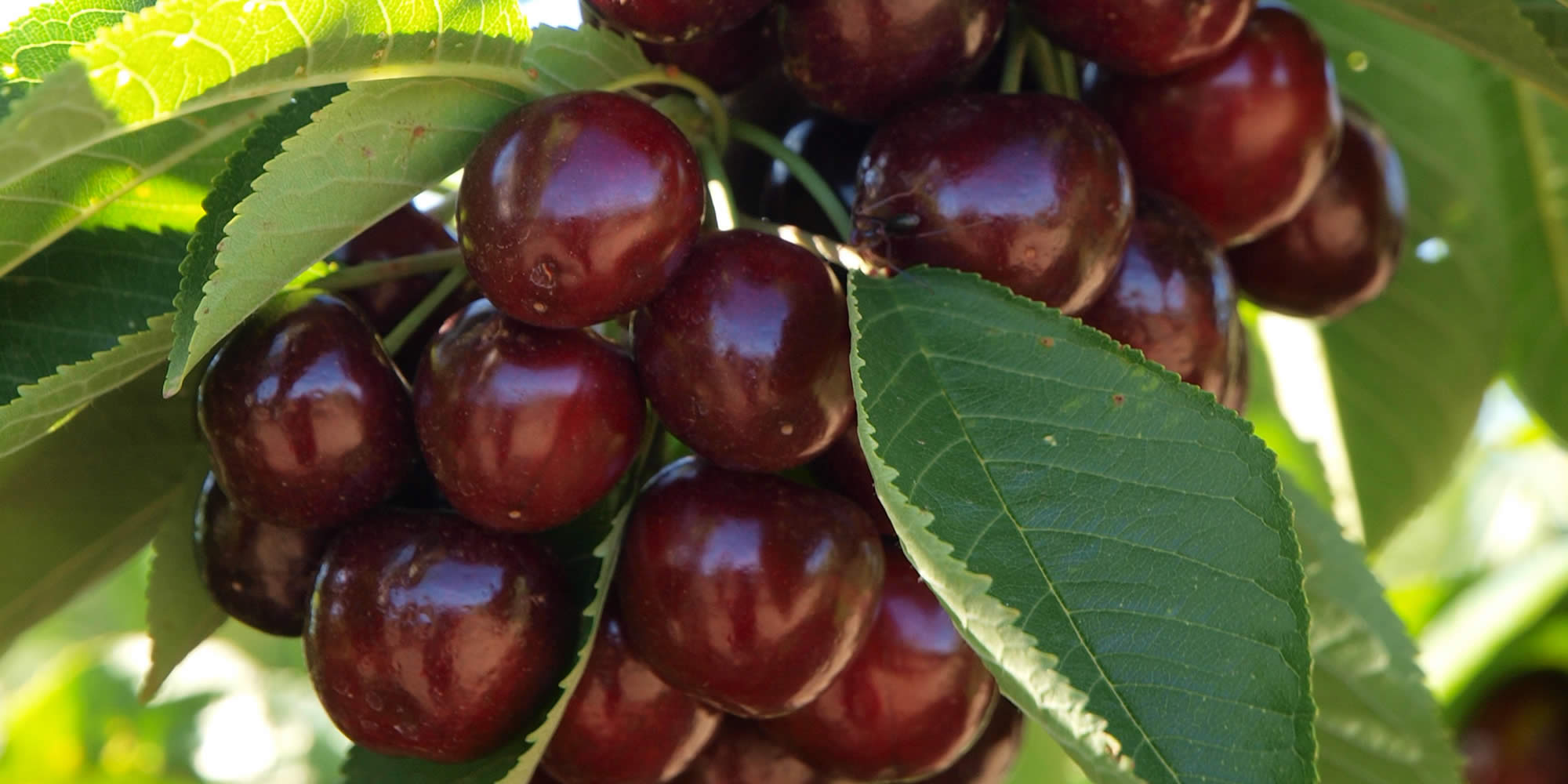 Slide - cherries on tree