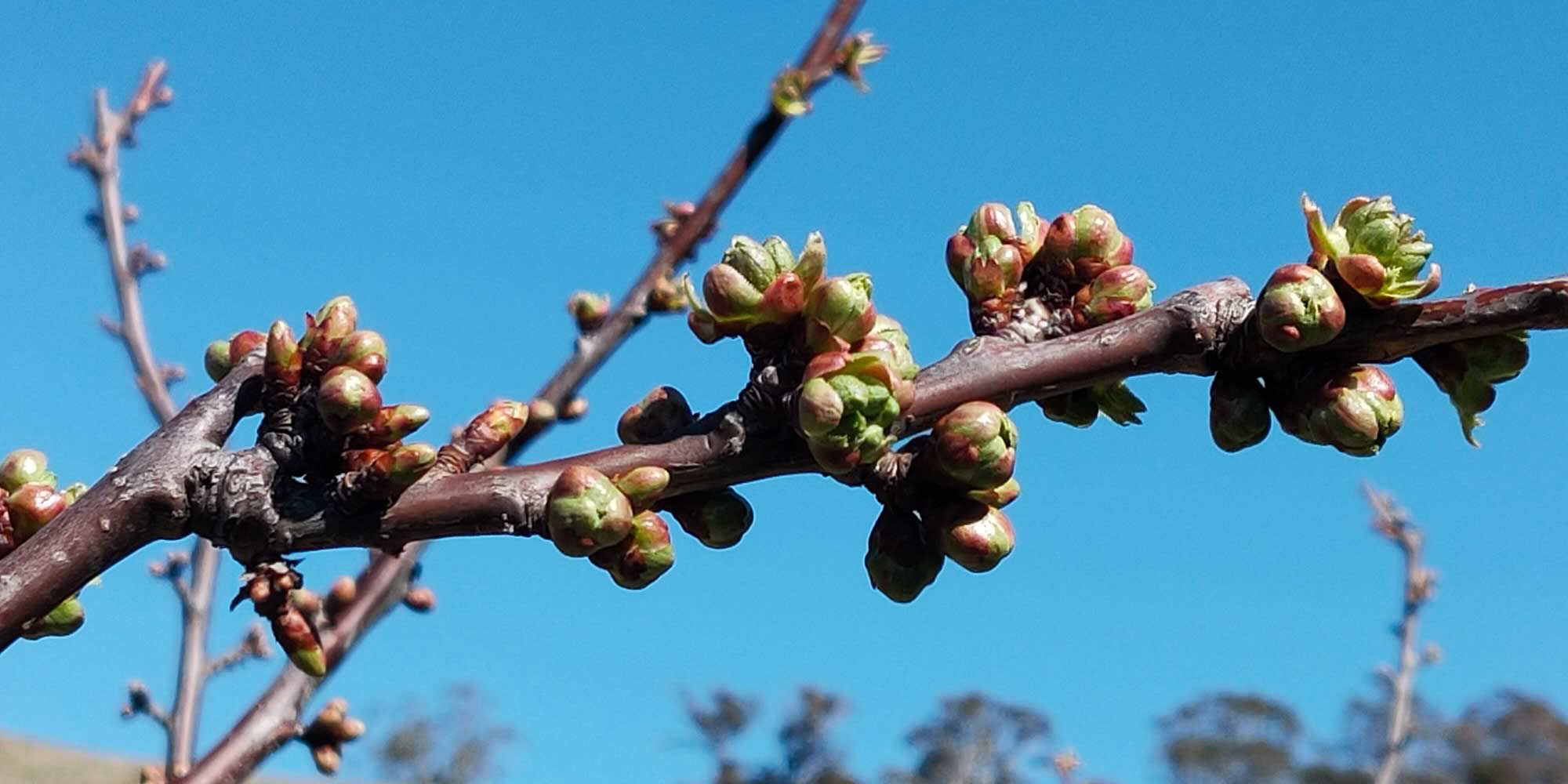 Slide - Cherry tree buds